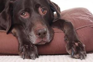 Compassionate care fog geriatric pets